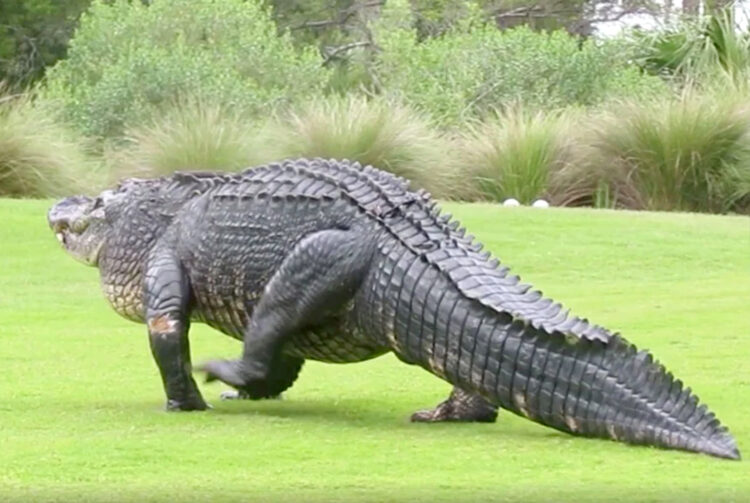 Alligator golfbaan